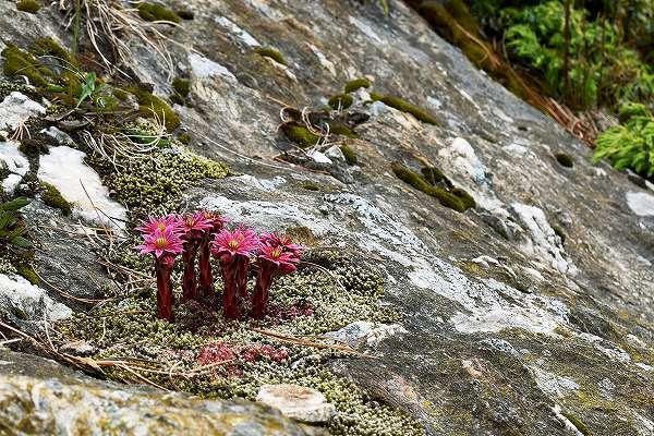 11-Sempervivum montanum.jpg