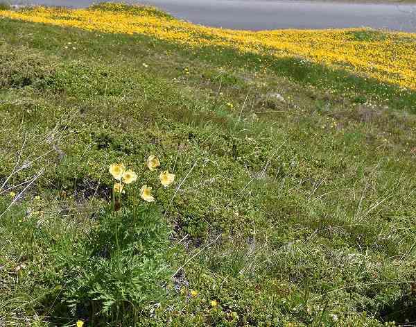 12-1オキナグサ属 apiifolia.jpg