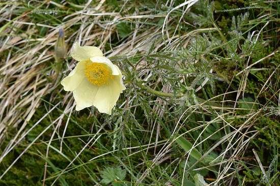 12-3オキナグサ属 appifolia.jpg