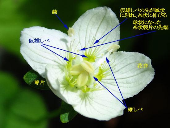 20-エゾウメバチソウ花.jpg
