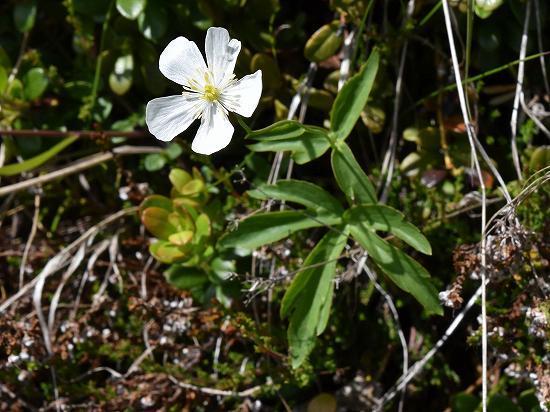 21-4キンポウゲ属 aconitifolius.jpg