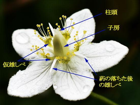 21-エゾウメバチソウ花.jpg