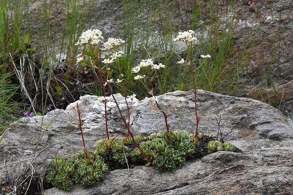 24-1ユキノシタ属 paniculata.jpg
