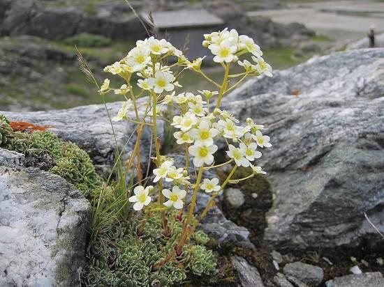 24-2ユキノシタ属 paniculata.jpg