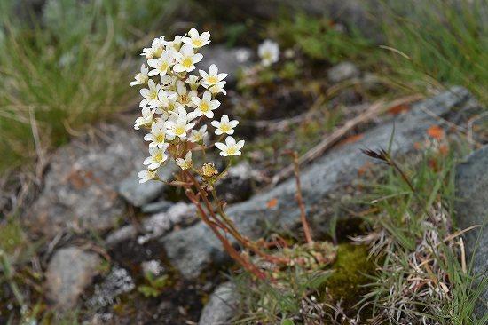 24-3ユキノシタ属 paniculata.jpg