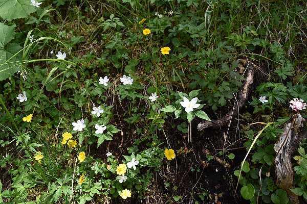 30-1 イチリンソウ属 trifolia.jpg