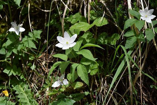 30-2 イチリンソウ属 trifolia.jpg