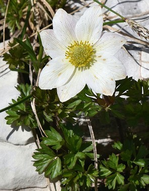 31-2 イチリンソウ属 baldensis-2.jpg